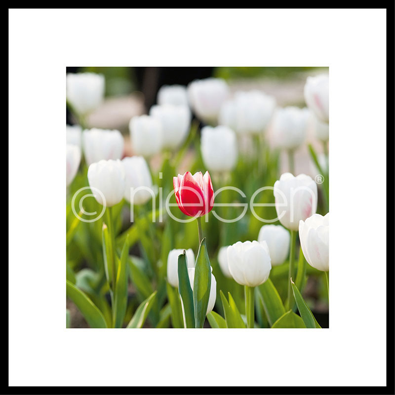 Gerahmte Kunst Tulips mit Aluminium Bilderrahmen C2