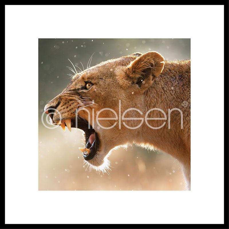 Gerahmte Kunst Lioness mit Aluminium Bilderrahmen C2
