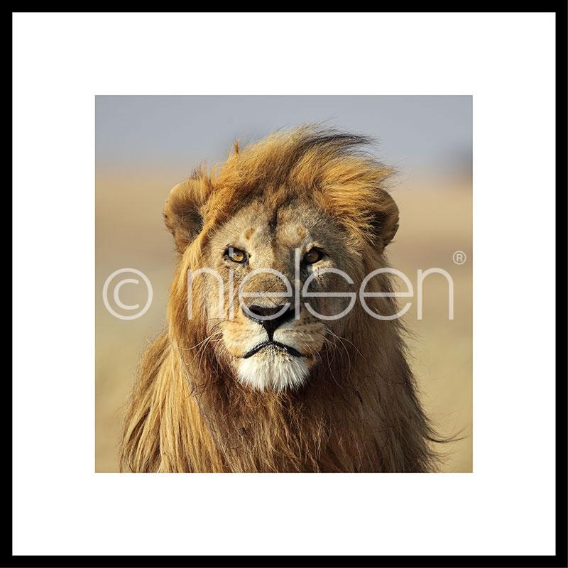 Gerahmte Kunst Lion mit Aluminium Bilderrahmen C2