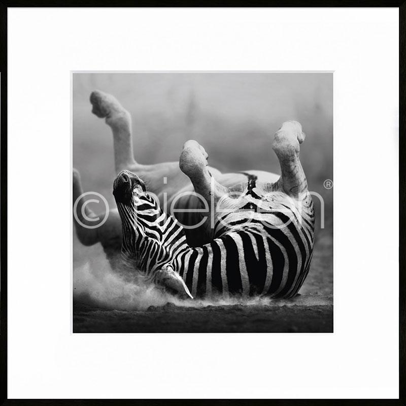 Gerahmte Kunst Zebra lying mit Aluminium Bilderrahmen C2