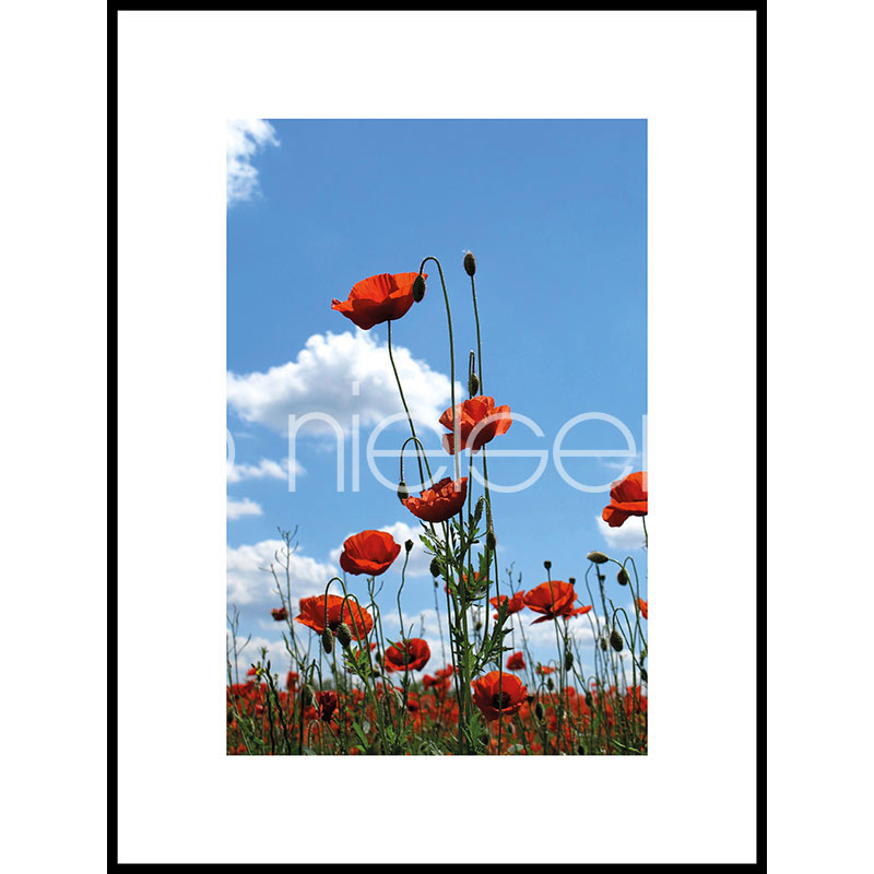 Gerahmte Kunst Field of Poppy Flowers mit Aluminium Bilderrahmen C2