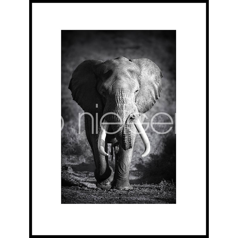 Gerahmte Kunst Elephant black and white mit Aluminium Bilderrahmen C2